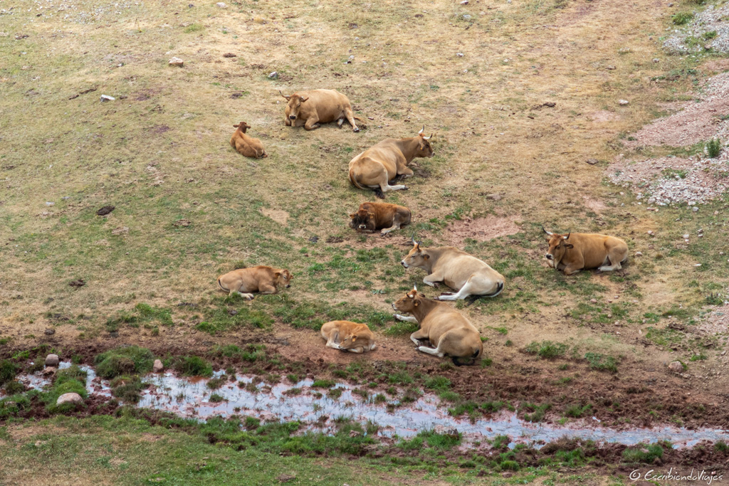 Vacas durante la ruta de los lagos de Saliencia (Somiedo)