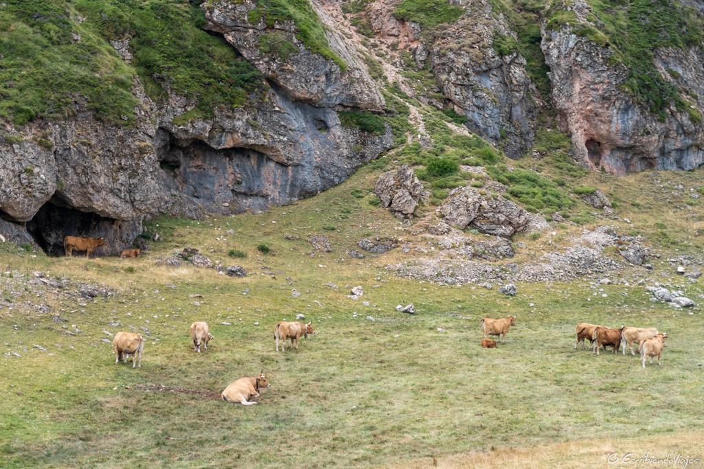 Vacas durante la ruta por los Lagos de Saliencia (Somiedo)